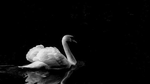 Black 'n' white swan - by KittyT6