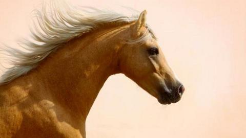Palomino horse - by Horses are my thang